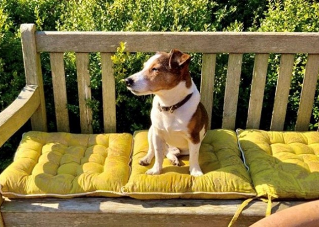 Picture of Archie, Jack russell