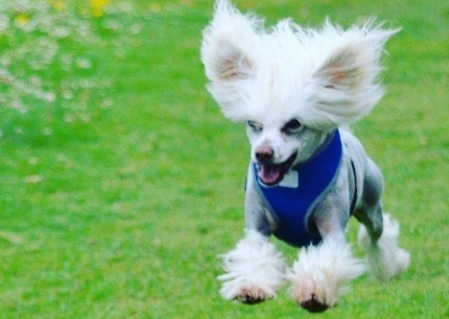 Picture of Bertie, Chinese crested dog