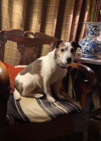 Picture of Brodie, Jack russell