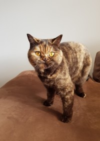 Picture of Cocoa, Chocolate tortoiseshell British shorthair