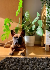Picture of Dave, French bulldog