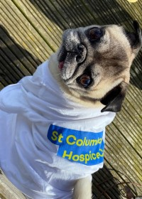 Picture of Douglas, the pug, Douglas gets a special mention - after completing his Walk to Remember, Douglas sported his own tee. Looking very dapper!