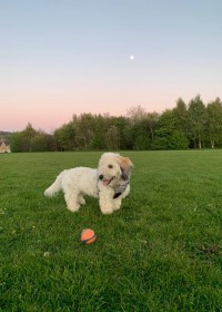 Picture of Harvey, Bichon cockapoo cross