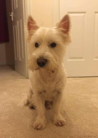 Picture of Henry, West highland terrier