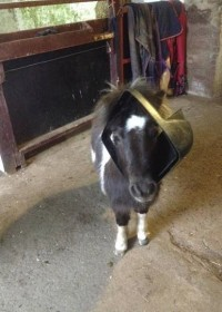 Picture of Juno, Shetland pony