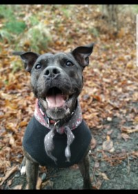 Picture of Lola, Staffie