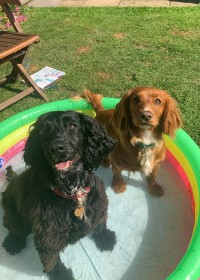 Picture of Luna and Bonnie, Cocker spaniels