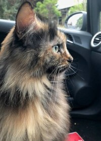 Picture of Mabel, Maine coon - ragdoll mix