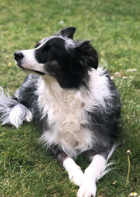 Picture of Megg, Border collie