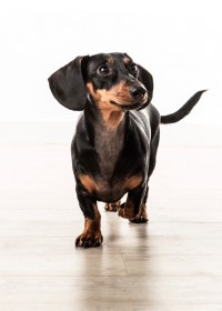 Picture of Millie, Miniature daschund