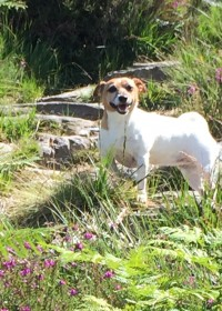 Picture of Mojo, Jack russell terrier