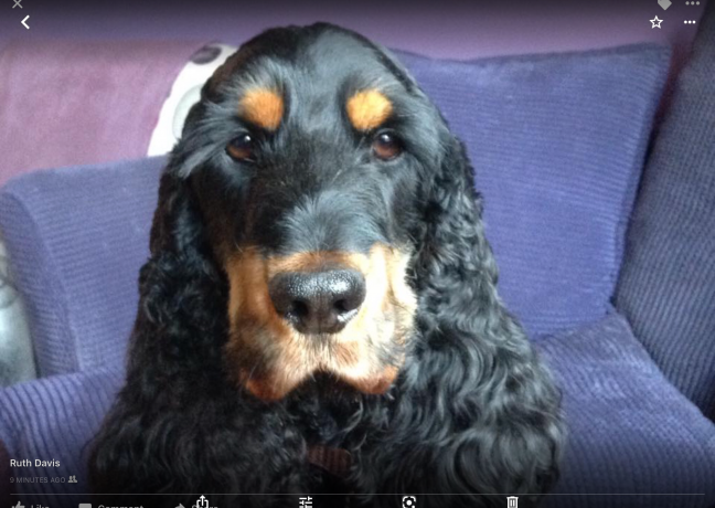 Picture of Morgan, Cocker spaniel