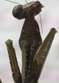 Picture of Mr Mantis Jr, Mantis