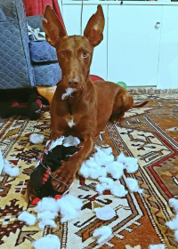 Picture of Ray, Podenco