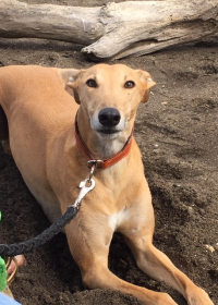 Picture of Sandy, Greyhound