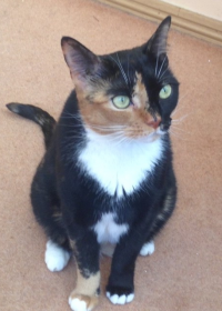 Picture of Tosca, Tortoiseshell cat