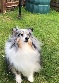 Picture of Tweed, Sheltie dog