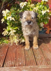Picture of Breck, Border terrier