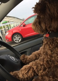 Picture of Ozzie, Cockapoo