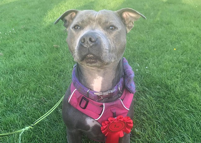 Picture of Bluebell, Blue Staffordshire terrier