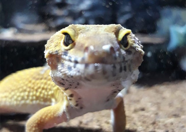 Picture of Bowser, Leopard gecko